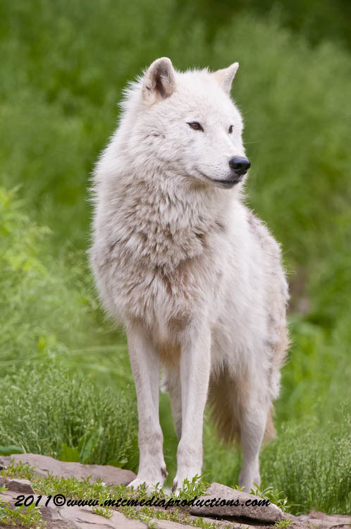 Arctic Wolf Picture-578