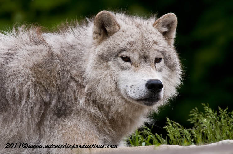 Arctic Wolf Picture-579
