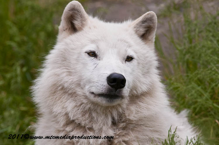 Arctic Wolf Picture-580