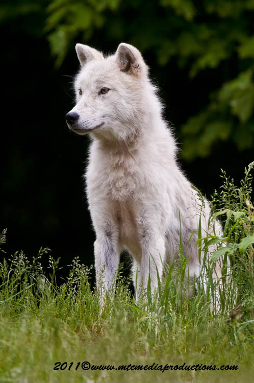 Arctic Wolf Picture-581