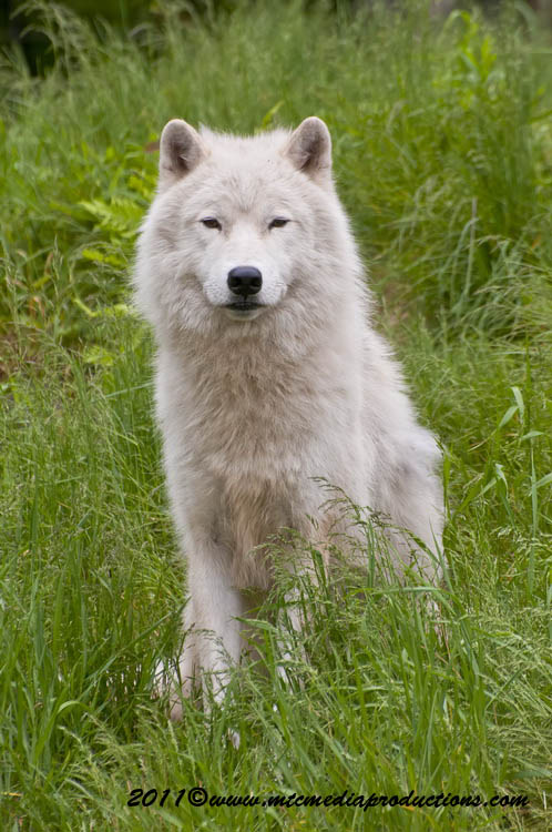 Arctic Wolf Picture-582