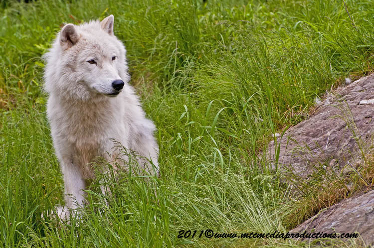 Arctic Wolf Picture-583
