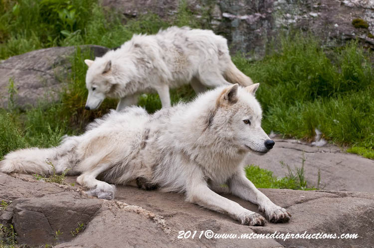 Arctic Wolf Picture-584