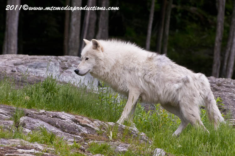Arctic Wolf Picture-585