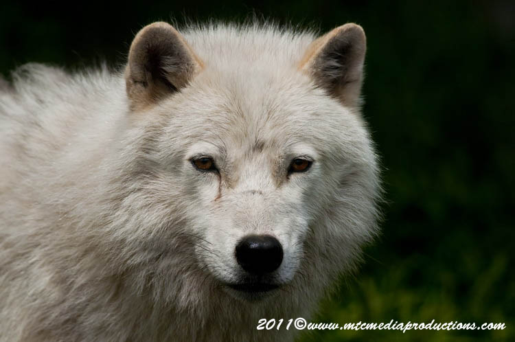 Arctic Wolf Picture-586