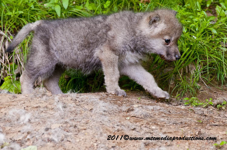 Arctic Wolf Picture-592