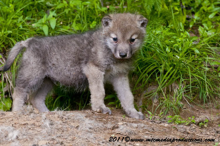 Arctic Wolf Picture-593