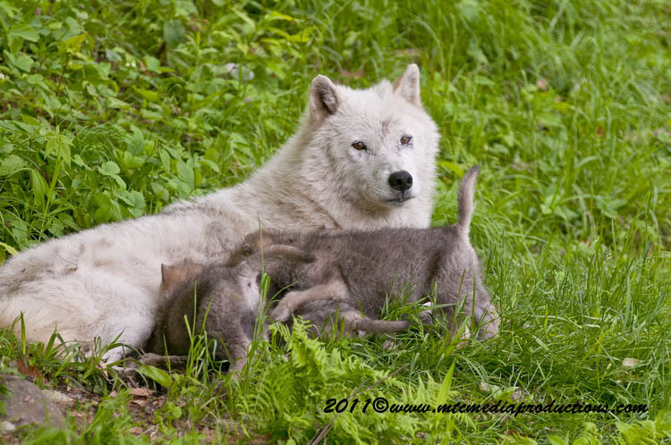 Arctic Wolf Picture-596