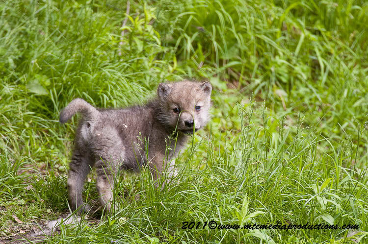Arctic Wolf Picture-597