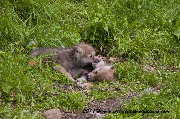 Arctic Wolf Picture-598