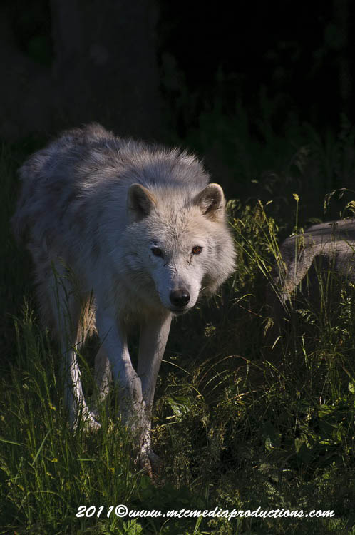 Arctic Wolf Picture-600