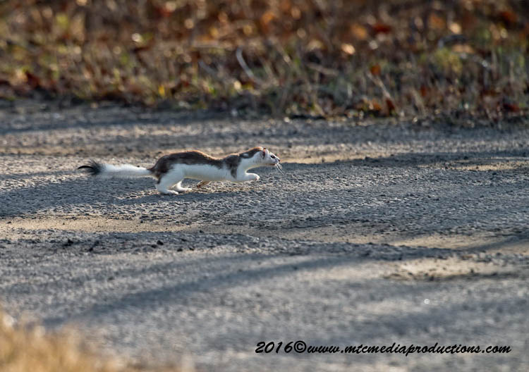 Long-tailed Weasel Picture-00