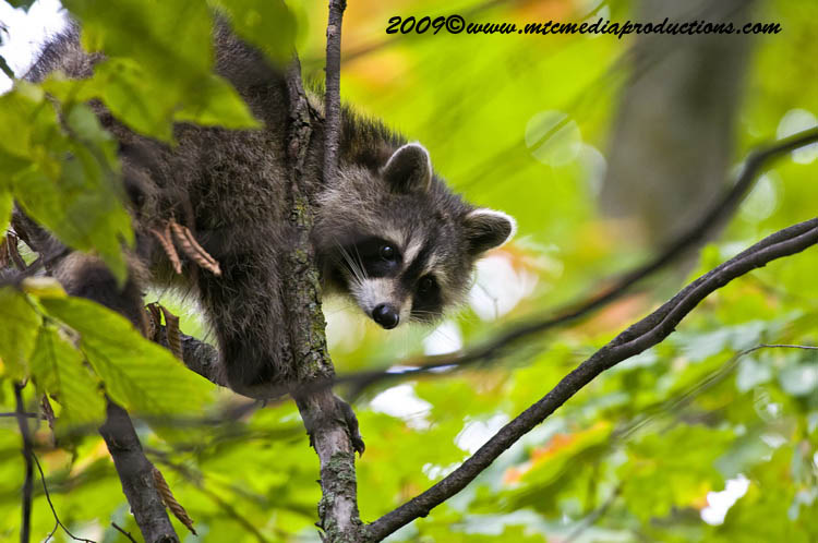 Raccoon Picture
