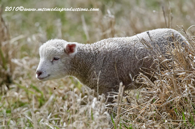 Sheep Picture-11