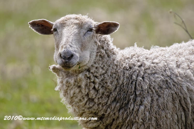 Sheep Picture-15