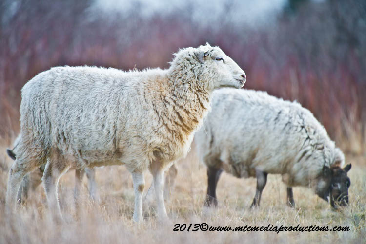 Sheep Picture-18
