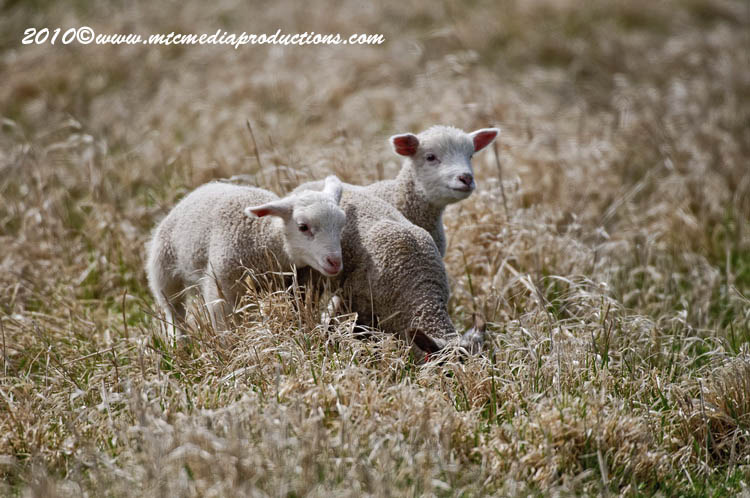 Sheep Picture-09