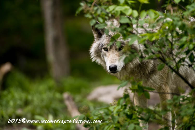 Timber Wolf 14