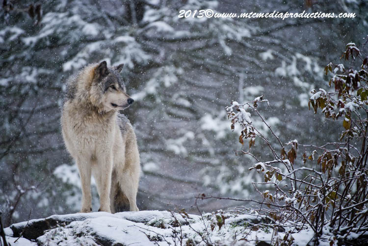 Timber Wolf 15