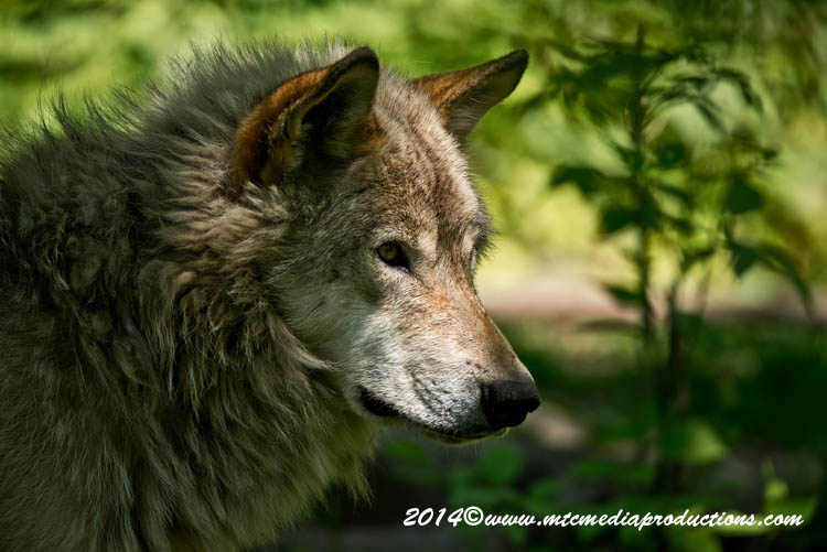 Timber Wolf 16