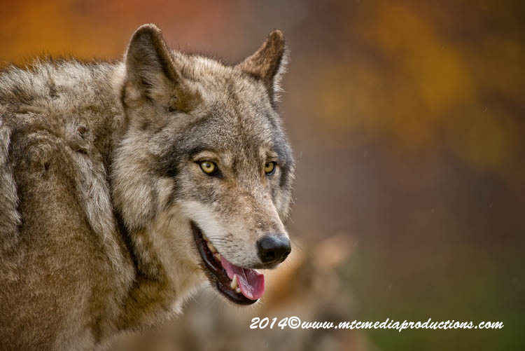 Timber Wolf 18