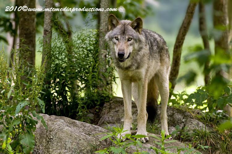 Timber Wolf Picture-303