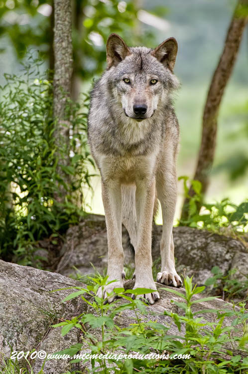 Timber Wolf Picture-304