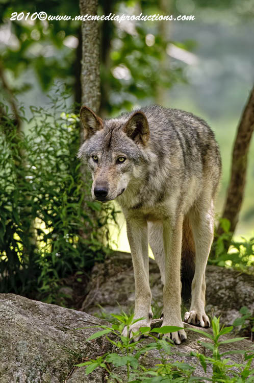 Timber Wolf Picture-305