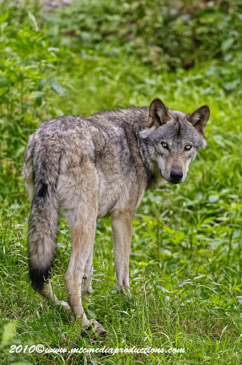 Timber Wolf Picture-308