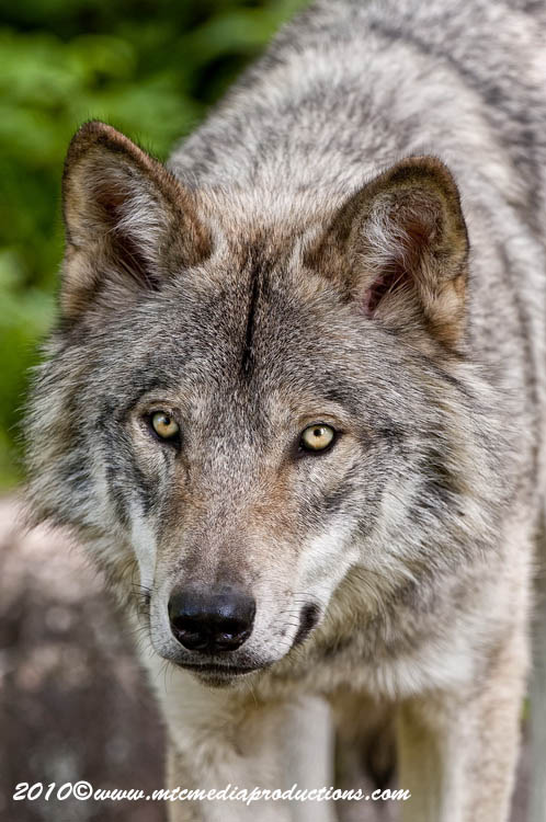 Timber Wolf Picture-309
