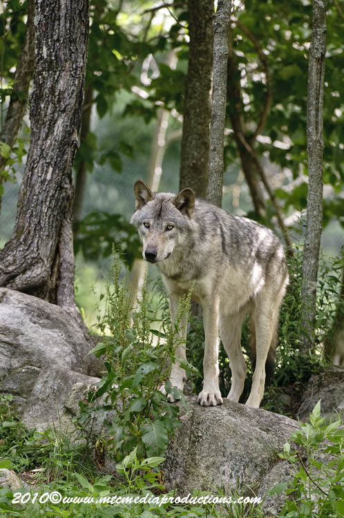 Timber Wolf Picture-311