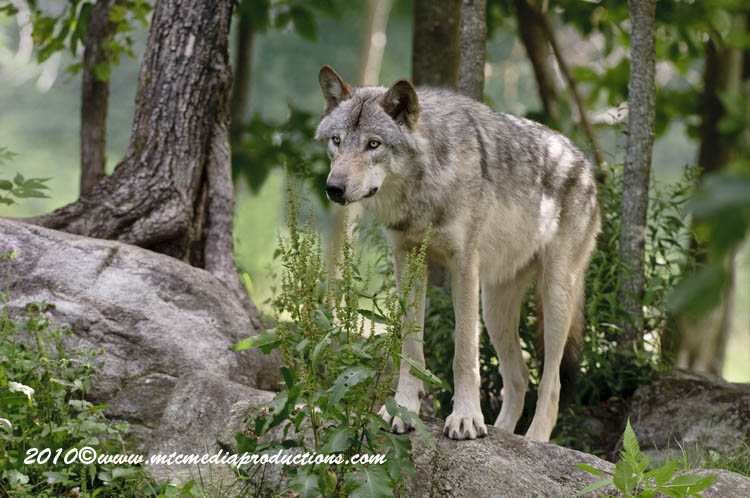 Timber Wolf Picture-312