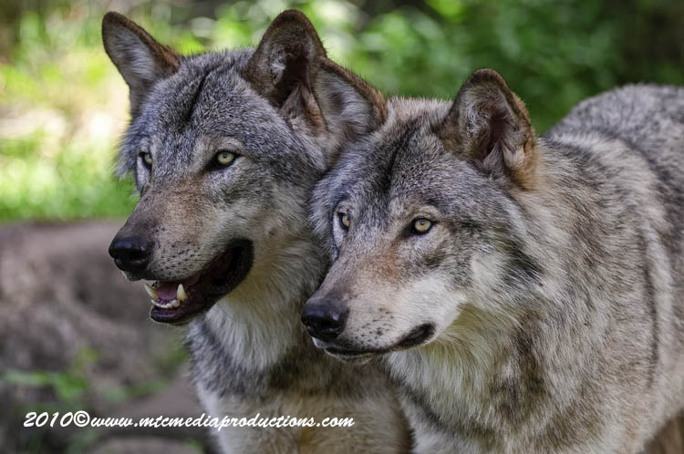 Timber Wolf Picture-313
