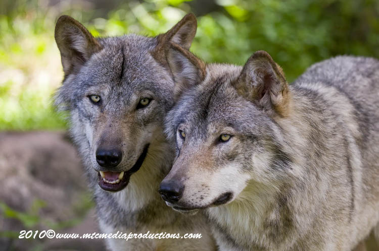 Timber Wolf Picture-314