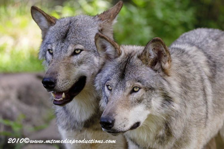 Timber Wolf Picture-315