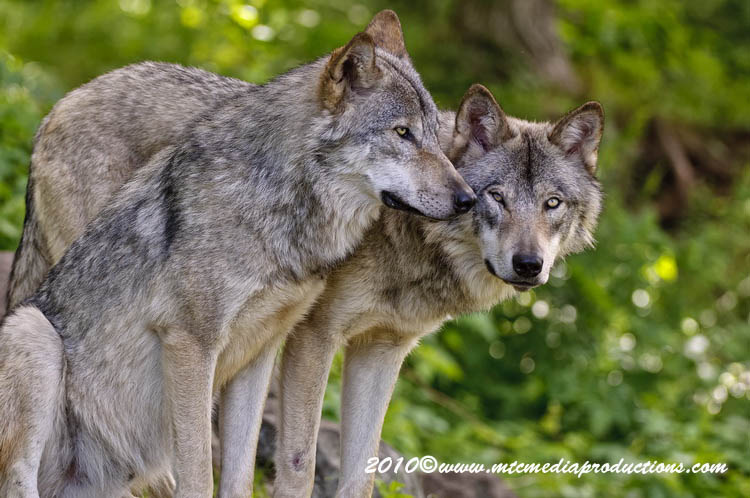 Timber Wolf Picture-316