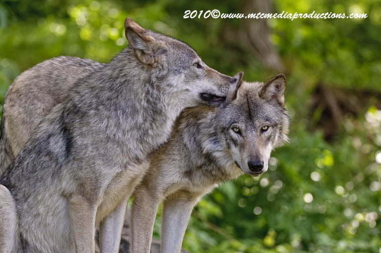 Timber Wolf Picture-317