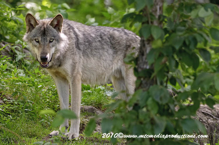 Timber Wolf Picture-319