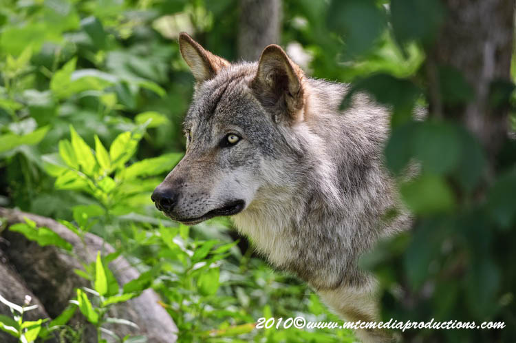Timber Wolf Picture-320