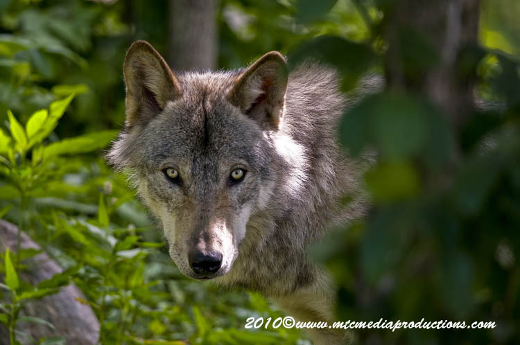 Timber Wolf Picture-321
