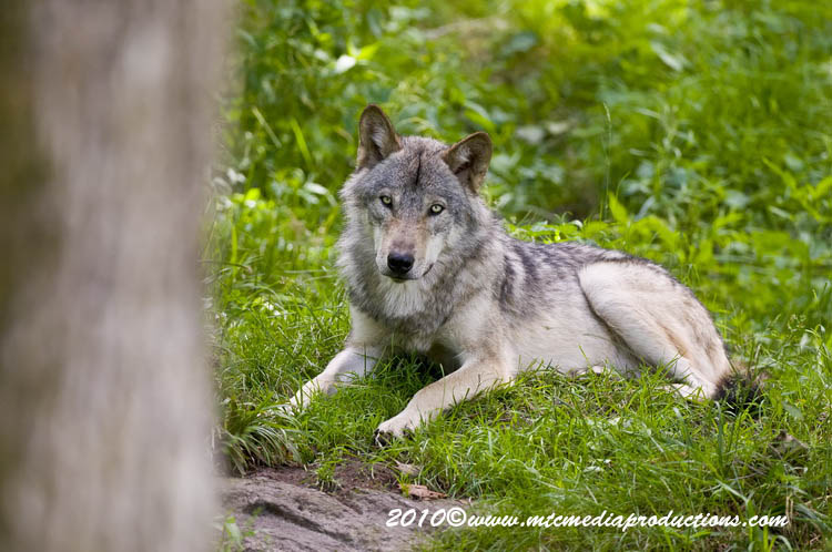 Timber Wolf Picture-322