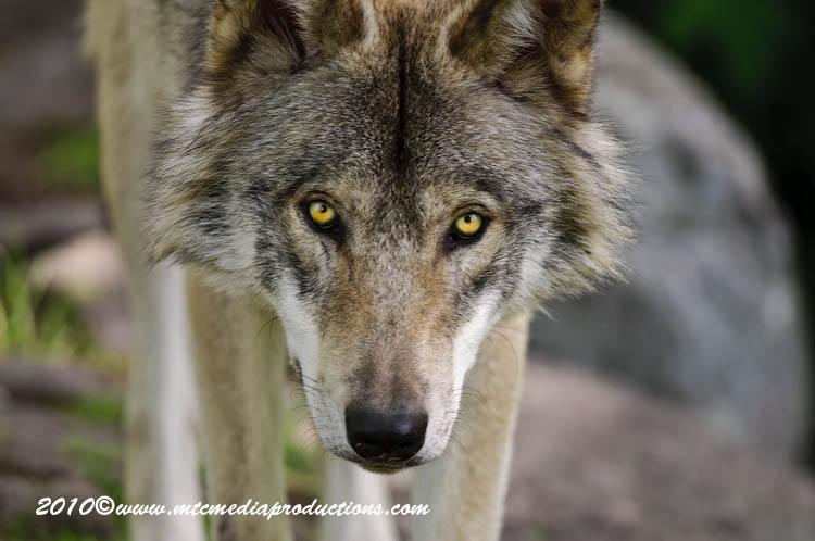 Timber Wolf Picture-323