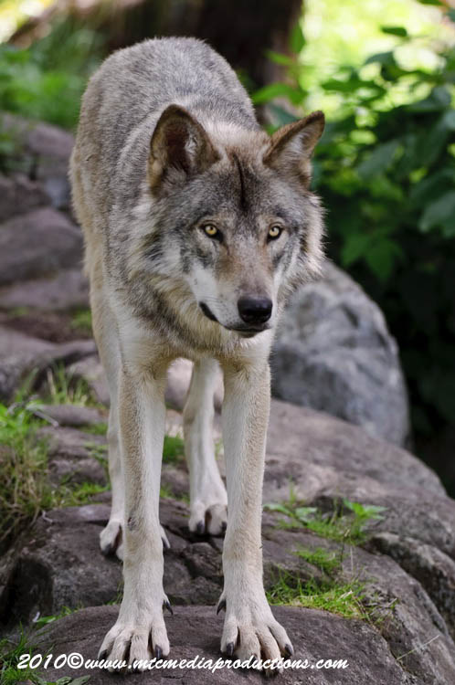 Timber Wolf Picture-324