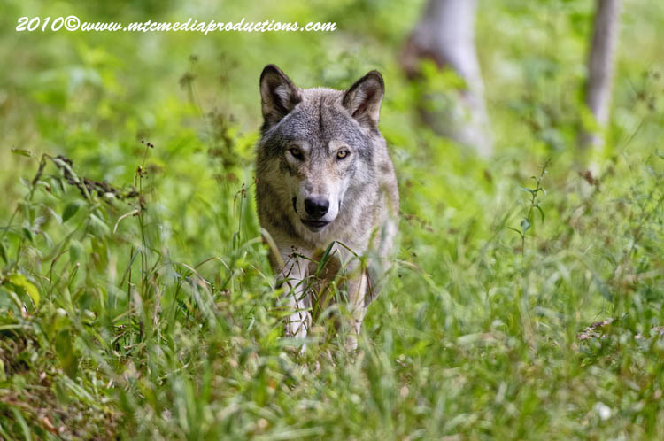 Timber Wolf Picture-326