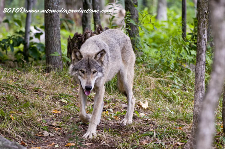 Timber Wolf Picture-327