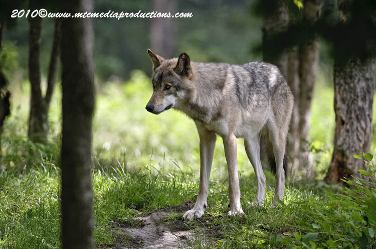 Timber Wolf Picture-328