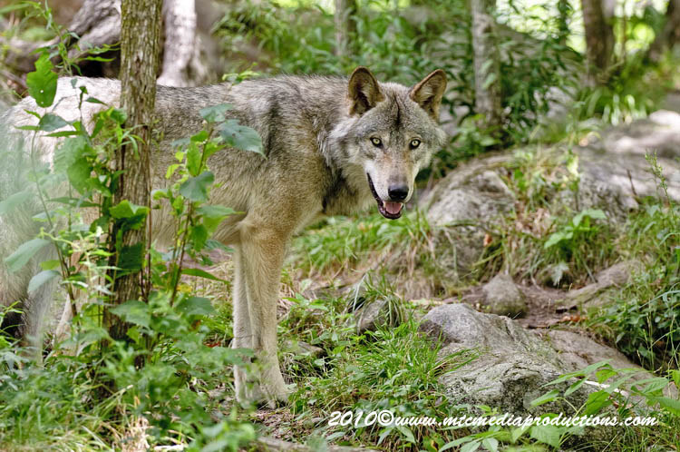 Timber Wolf Picture-329