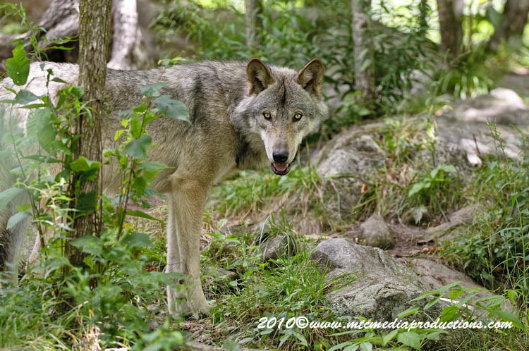 Timber Wolf Picture-330