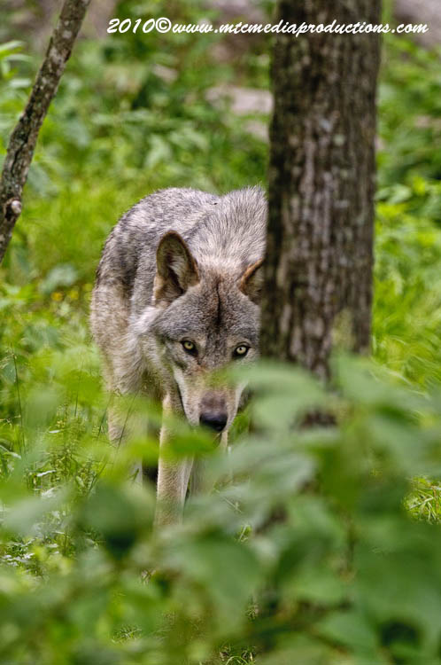 Timber Wolf Picture-332