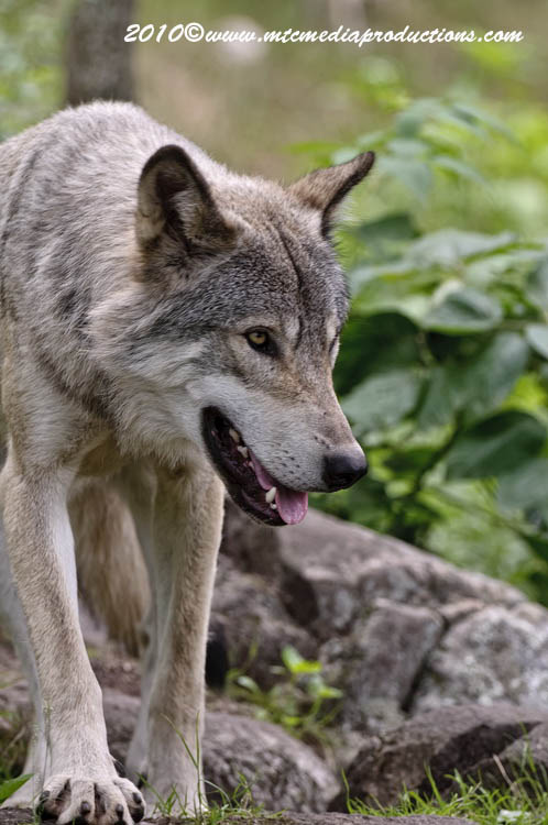 Timber Wolf Picture-334